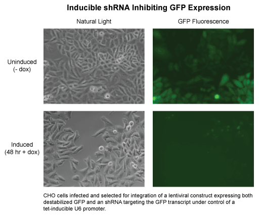 Fluorescent cell images indicating inducible shRNA inhibiting GFP expression