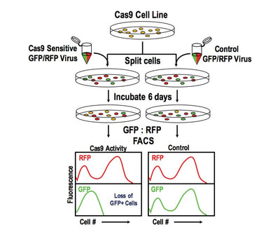 CRISPRuTest™ Cas9 Nuclease Assay Set / 4 x Cas9 Constructs