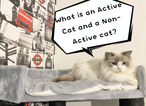 What is an Active Cat or a Non-Active Cat? What is buying a Cat as a Pet? - Cherish Lewis Ragdoll