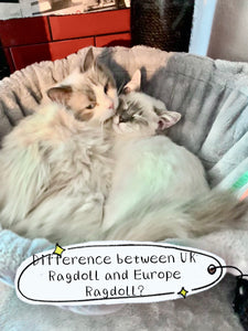 What is the Difference between UK Pedigree Ragdoll and Europe Ragdoll Cat? How much is Ragdoll Cat?