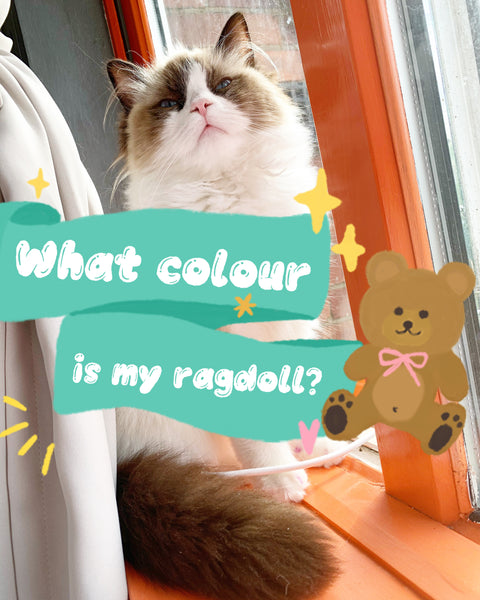 What colour is my ragdoll? - Ragdoll Cat Colours CHERISH LEWIS Ragdoll Cattery UK