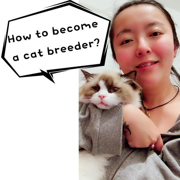 How to become a cat breeder? Selling animal as a pet license UK (Part 1)- Cherish Lewis Cattery