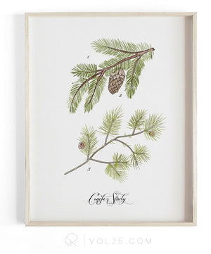 Conifer Study Vol.1 | Scientific Textured Cotton Canvas Art Print | VOL25