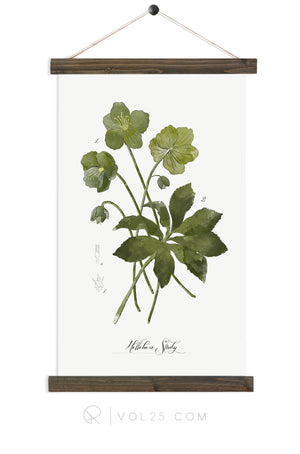 Hellebore Study |  unique wall hanging art  | More options