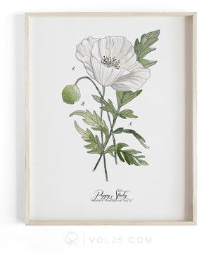 Poppy Study Vol.2 | Scientific Cotton Canvas Art Print | VOL25