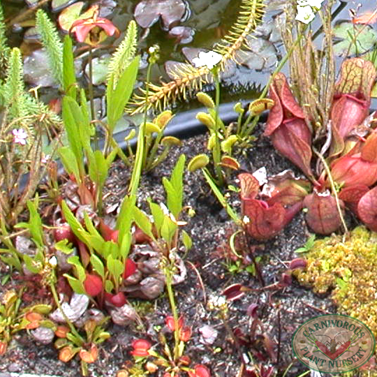 Types of Carnivorous Plants