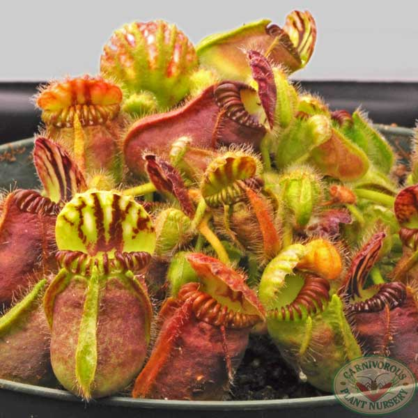 Growing Tips for Cephalotus
