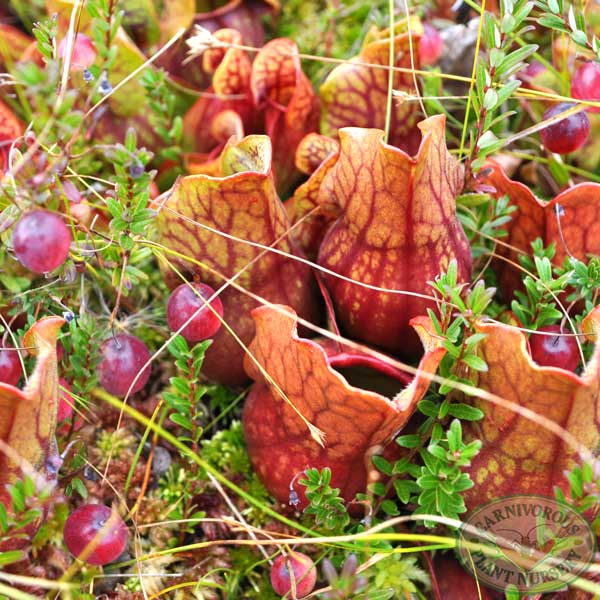 Cranberry and Sarracenia purpurea