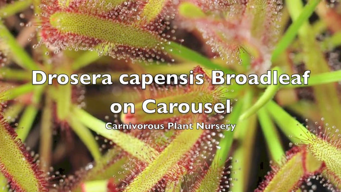 Drosera capensis broadleaf on carousel