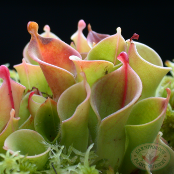 Growing Tips for Heliamphora