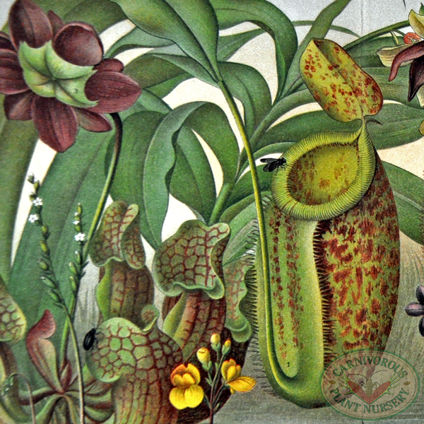 Carnivorous Plant Antique Prints
