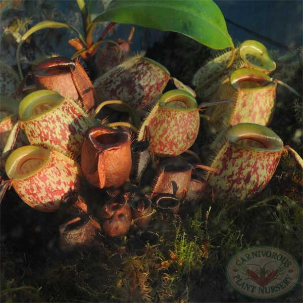 Growing Tips for Nepenthes