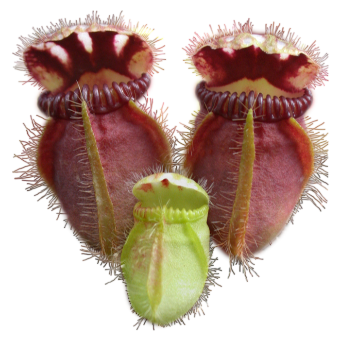 Carnivorous Plant Scientific Classification