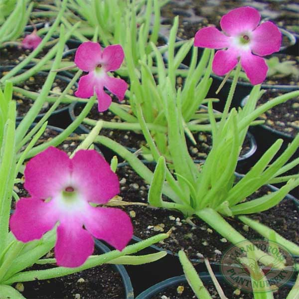 Growing Tips for Tropical Butterworts