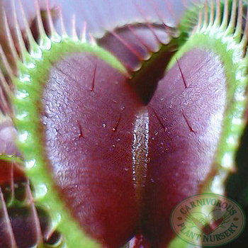 Free Lab Activity - Venus Flytrap Closure Speed