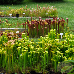 Carnivorous Plant Nursery Open House June 2015 6