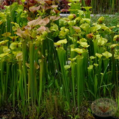 Carnivorous Plant Nursery Open House June 2015 8