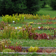 Carnivorous Plant Nursery Open House June 2015 4