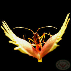 Carnivorous Plant Nursery source image for logo. Assassin bug about to be trapped by a venus flytrap.