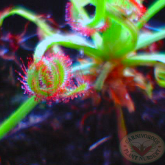 aphid damage on cape sundew