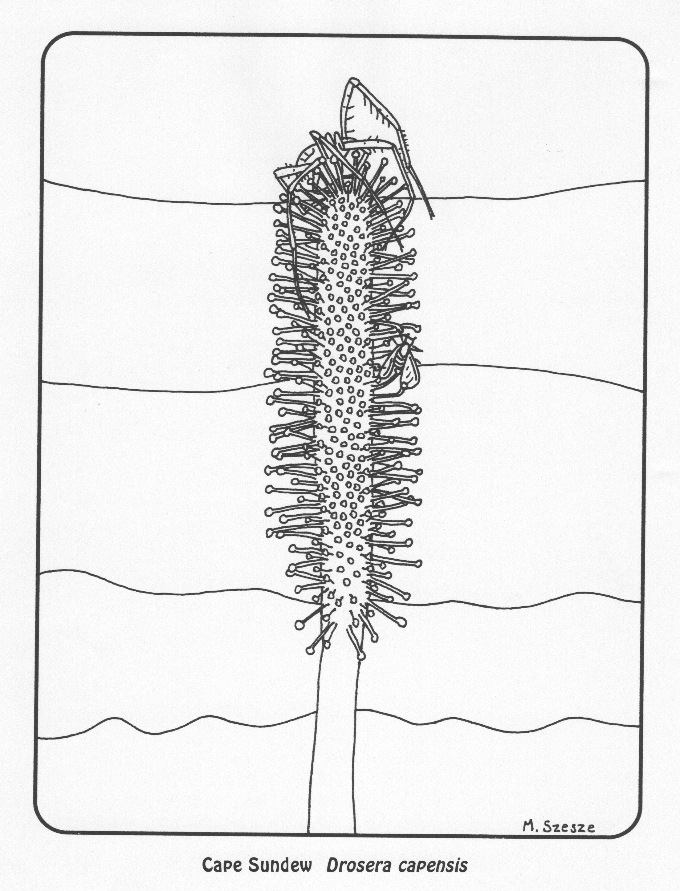 carnivorous plants coloring pages | Free Carnivorous Plant Coloring Pages — Carnivorous Plant ...
