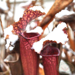 Carnivorous Plants in Snow