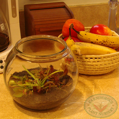 Carnivorous Plant Terrarium in the kitchen