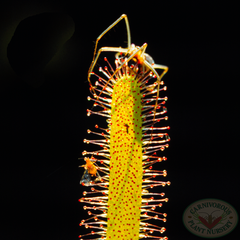 Drosera capensis with spider