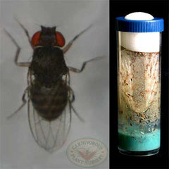 flightless fruitfly and vial