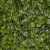 Liverworts - Pellia, from wikicommons, S. Rae