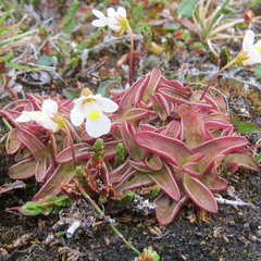 Pinguicula alpina