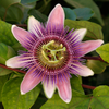 Passiflora x belotii, from wikicommons, Tomas Castelazo