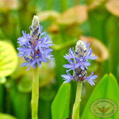 pickerelweed.1121b.jpg
