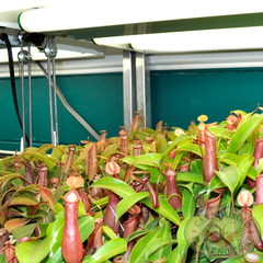 plant cart with nepenthes