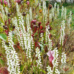 spiranthes.019c.jpg