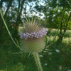 Dipsacus fullonum, from wikicommons