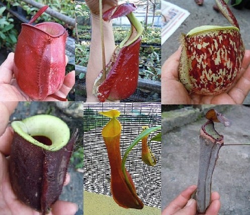 Lowland Nepenthes Seed Pack