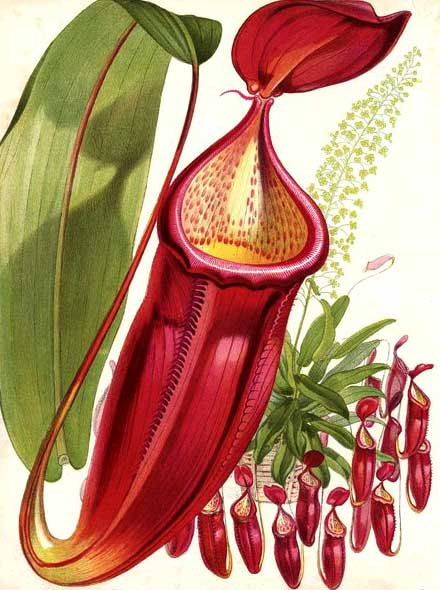 Nepenthes sanguinea, antique print, Paxton's Flower Garden
