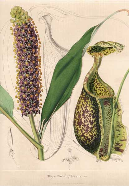 Nepenthes rafflesiana antique print