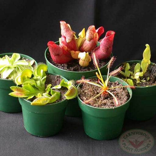Carnivorous Plants Beginner's Set 2