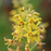 Bog Candles or Swamp Candles, Lysimachia terrestris