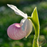 Queen's Lady's Slipper, Cypripedium reginae