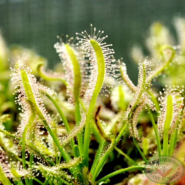 Drosera capensis - White Form