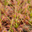 Drosera capillaris - Giant Form