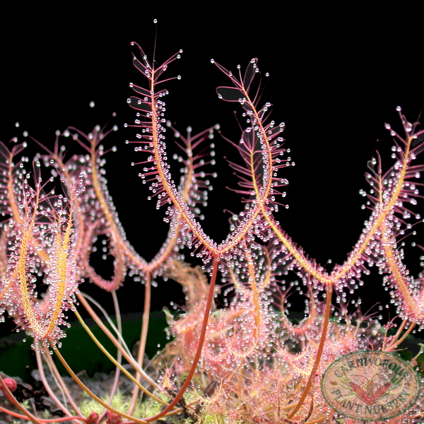 Drosera binata - Small Red Form