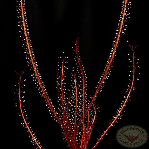 Drosera filiformis filiformis Red Form