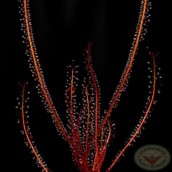 Drosera filiformis filiformis - Red Form