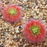 Drosera paleacea from wikicommons