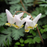Dutchman's Breeches, from Wikicommons