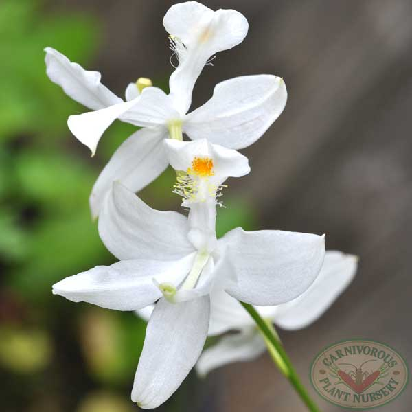 Grass Pink Orchid White